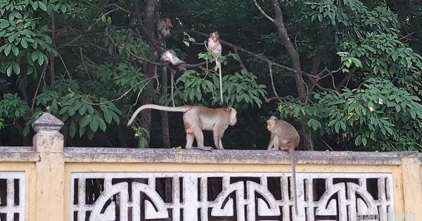 Sắp di dời đàn khỉ tại Tòa thánh Cao đài Tây Ninh