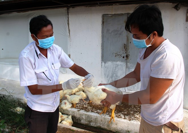 H5N1 bùng phát sát biên giới, Tây Ninh phòng dịch khẩn cấp