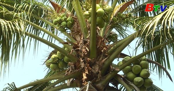 Kỹ thuật trồng dừa xiêm