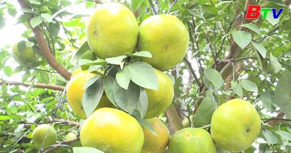 Rộn ràng vùng chuyên canh trái cây có múi Bắc Tân Uyên