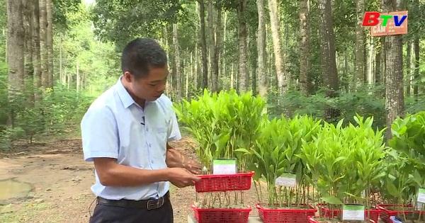 Kỹ thuật trồng và chăm sóc cây keo lai