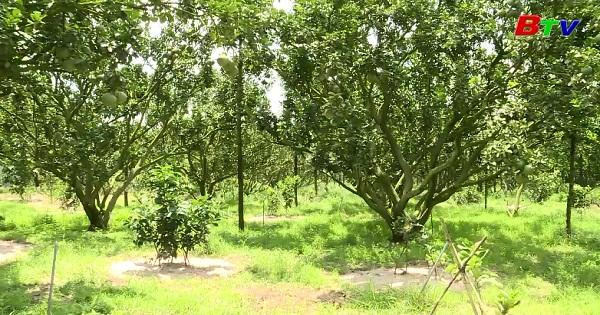 Mô hình trồng bưởi hữu cơ