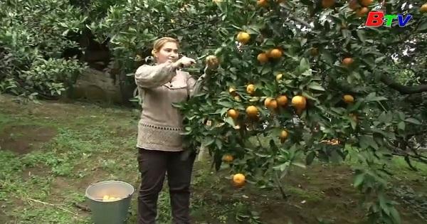 Vụ mùa quýt vàng bội thu của nông dân Nga