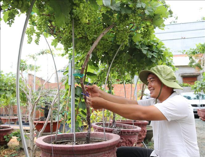 Nho kiểng Ninh Thuận hút hàng dịp Tết