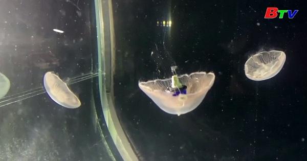 Mỹ gắn bộ phận giả cho sứa giúp khám phá đại dương
