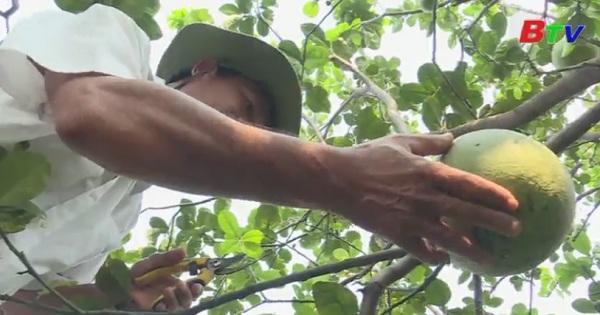 Mùa thu hoạch bưởi tết Bạch Đằng