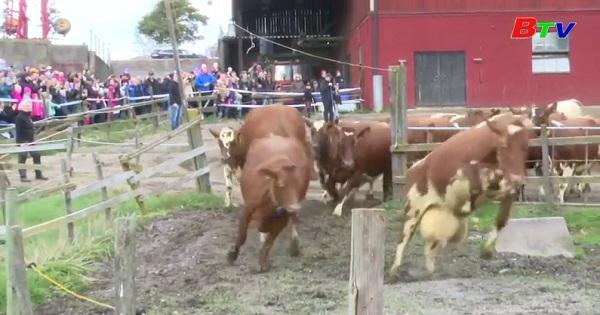 Hội thả bò mùa đông ở Thụy Điển