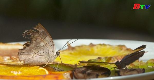 Mùa hè nóng khiến lượng bướm tăng vọt