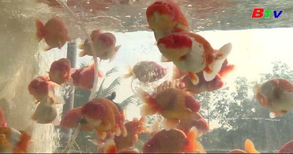 Hiệu quả từ nghề nuôi cá cảnh