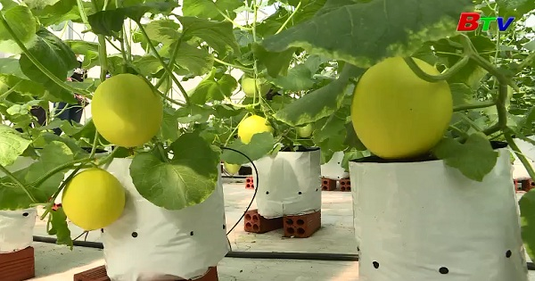 Mô hình trồng dưa lưới công nghệ cao trên giá thể