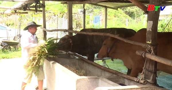 Chăn nuôi bê lai hướng thịt gắn với vệ sinh môi trường
