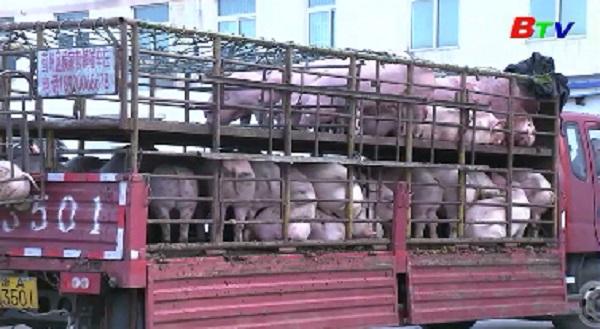 FAO cảnh báo dịch tả lợn Châu Phi ảnh hưởng tới các nhà sản xuất Châu Á