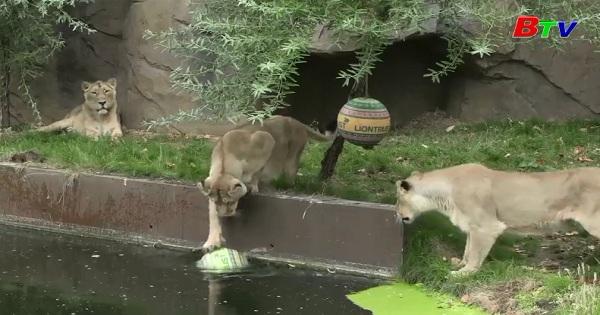 Sư tử sở thú Luân Đôn nhận quà nhân ngày Sư tử Thế giới