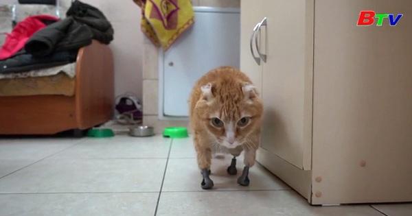 Câu chuyện về mèo mướp  Siberi với 4 chân giả