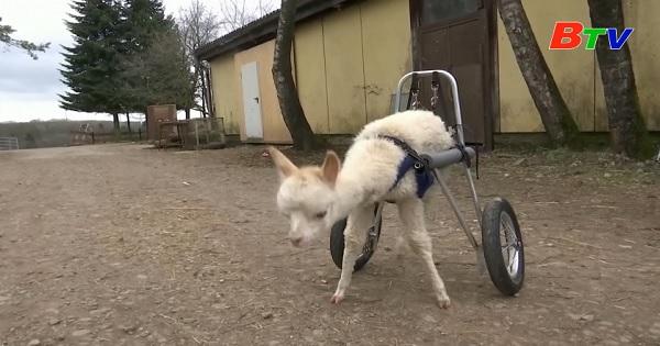 Mồ côi và khuyết tật, lạc đà không bướu đi lại bằng bộ bánh xe của riêng mình