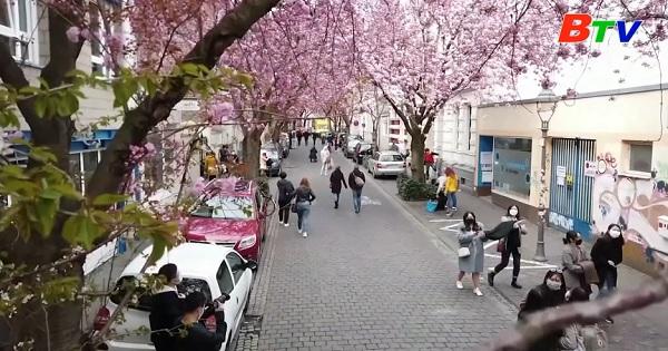 Mê sắc mùa hoa anh đào nở ở thành phố Bonn