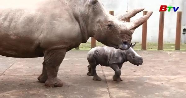 Tê giác còn ở sở thú Hà Lan lần đầu tiên ra ngoài