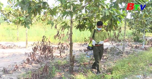 Phòng trừ sâu đục thân gây hại cây dầu rái