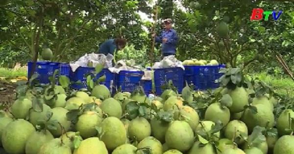 Nông dân huyện Bắc Tân Uyên sẵn sàng mùa bưởi tết