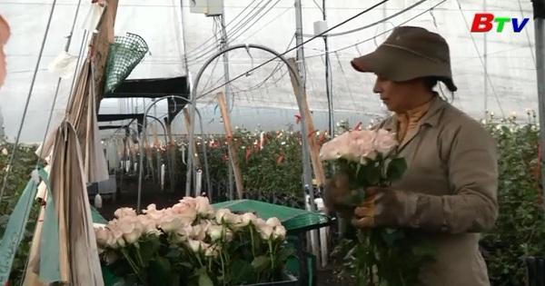 Lĩnh vực công nghiệp hoa hồng Colombia bước vào mùa cao điểm