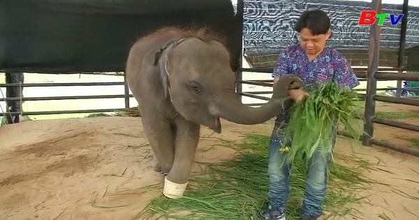 Chuyển voi con bị tật đến nơi ở mới ở Thái Lan