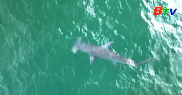 Mỹ - Phát hiện cá mập đầu búa ở Juno , Florida