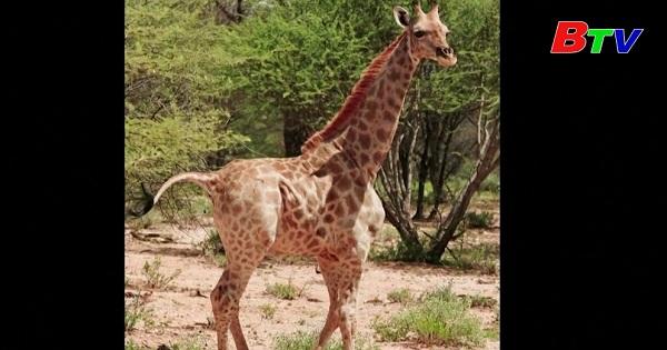 Phát hiện hai loài hưu cao cổ lùn ở Châu Phi