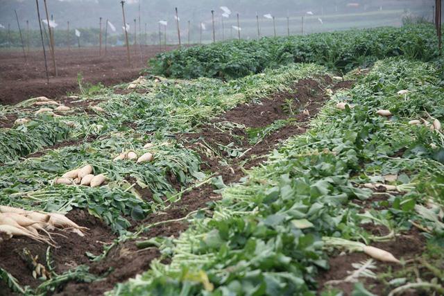Nông dân vứt bỏ hàng tấn củ cải do rớt giá