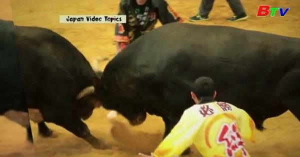 Vật bò Sumo - Truyền thống độc đáo của Nhật Bản