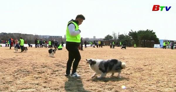 Sôi động cuộc thi bắt đĩa dành cho chó Collie