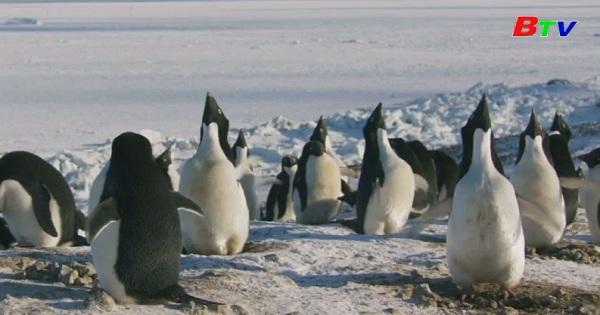 Disney ra mắt phim về chim cánh cụt ở Nam cực