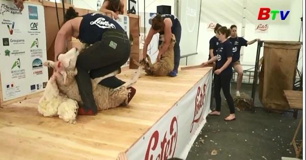 Sôi động cuộc thi xén lông cừu tại Pháp