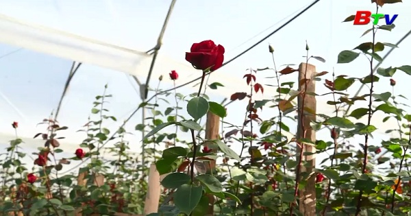 Ecuador hy vọng phá kỷ lục Guiness về Kim tự tháp hoa hồng khổng lồ