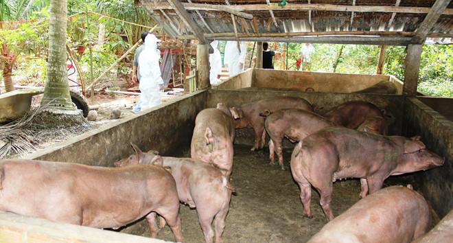 Dịch tả lợn châu Phi lây lan trên toàn tỉnh Bến Tre