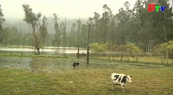 Colombia bùng phát 2 đợt lở mồm long móng