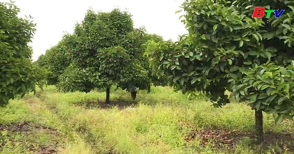 Chăm sóc vườn cây ăn trái sau thu hoạch