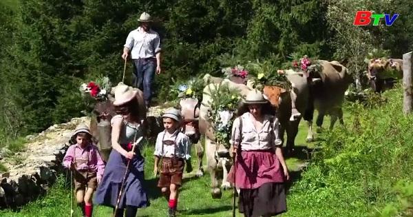 Đàn bò diễu hành kết thúc kì nghỉ mùa hè