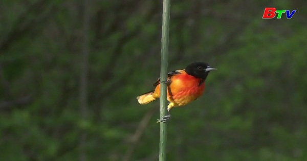 Số lượng chim tại Mỹ và Canada giảm mạnh
