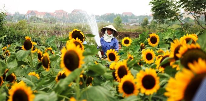 Vườn hoa Hướng Dương thu hút hàng nghìn du khách