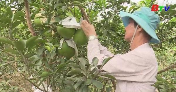 Nông dân Bạch Đằng chuẩn bị bưởi Tết cung ứng thị trường