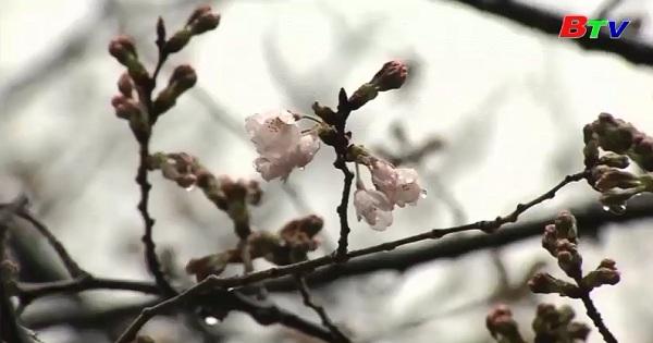 Bắt đầu mùa hoa anh đào nở ở Nhật Bản