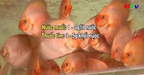 Kỹ thuật nuôi cá dĩa trong hồ kiếng