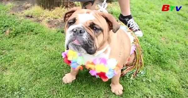 Cuộc thi sắc đẹp kỳ lạ dành cho những chú chó Bull hung dữ
