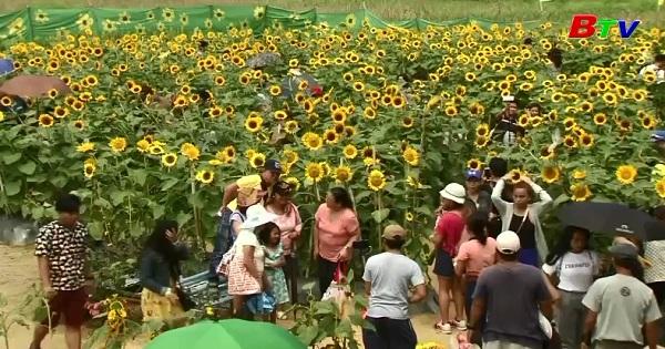 Ngắm mê cung hoa hướng dương ở Philippines