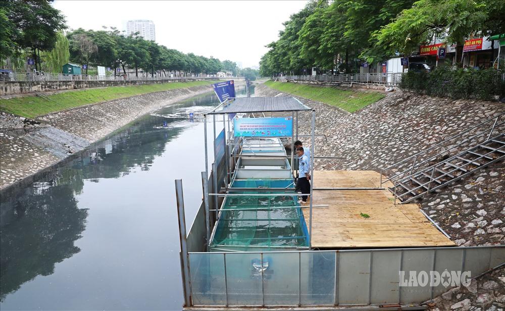 Cá Koi Nhật chết nổi trên sông Tô Lịch