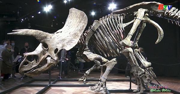 Gần 8 triệu USD cho bộ xương khủng long Triceratops lớn nhất thế giới