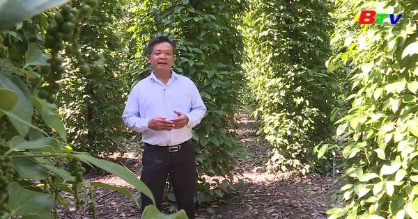 Kỹ thuật trồng tiêu bền vững