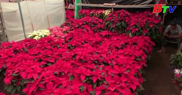 Hoa trạng nguyên rực rỡ báo hiệu mùa giáng sinh ở Mexico