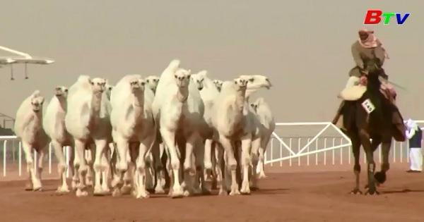 Cuộc thi sắc đẹp dành cho lạc đà tại ARập Xê-Út