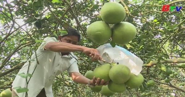 Phát triển vườn bưởi đặc sản từ quyết định số 64 của UBND tỉnh